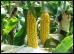 Corn.9.Thmb.jpg