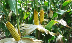 Corn.9.jpg