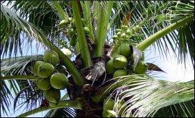 Coconut.9.JPG