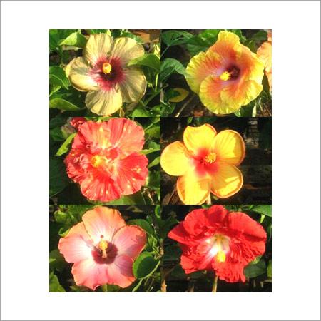 American Hibiscus Plants Om Farms Nursery Gatt No 229 Mumbai