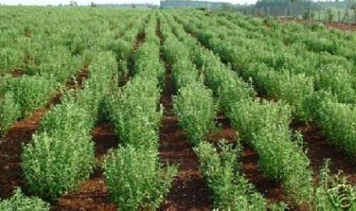 Organic Stevia Plants