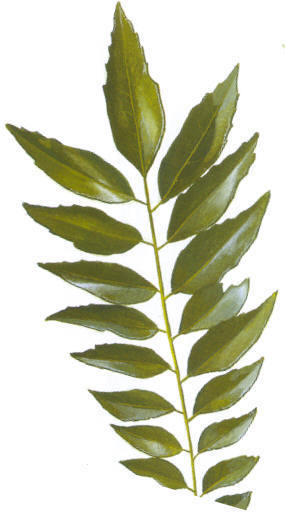 Dehydrated Curry Vegetable Leaves