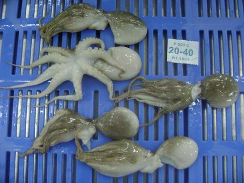 Octopus Whole Cleaned in   Ernakulam