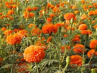 Marigold Seed For Lutein P-4
