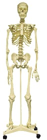 Life Size Skeleton With Stand ( Sk-160)