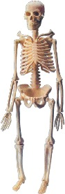 Mini-Skeleton With Stand (Sk-046- 46cm)