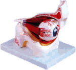 Eye With Orbit (Xc-316b)