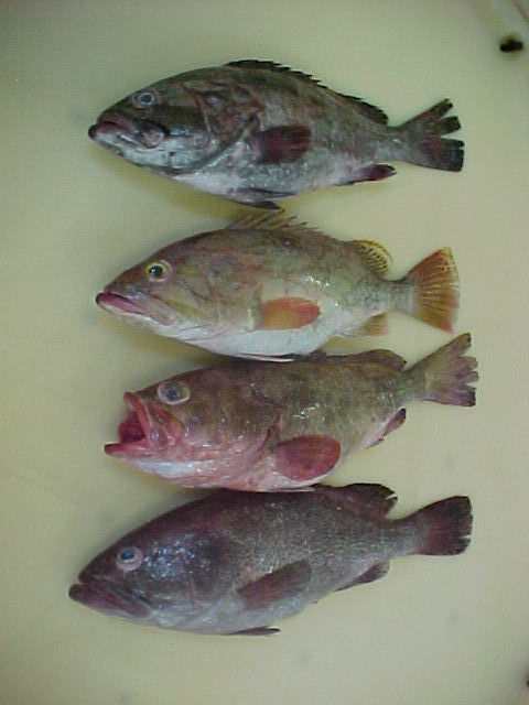 Grouper Fishes