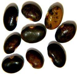 Psoralea Seed