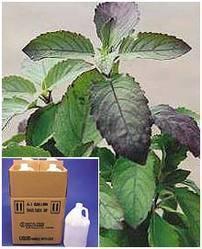 Ocimum Sanctum Leaf
