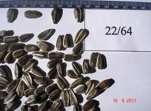 Confectionary Sunflower Seeds at Best Price in Buenos Aires, Buenos Aires