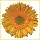Yellow Biniek Gerbera Plant Flower