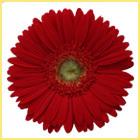 Red Gerbera Plants Pola Flower