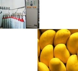 Ripening Chamber for Mangoes