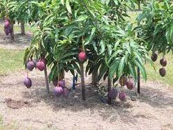 Gulab Khas Plant