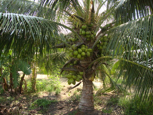 Coconut Saplings