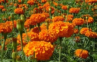 Marigold Extract, Lutein and Zeaxanthin