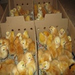 Broiler Day Old Chicks