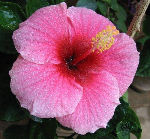 Hibiscus Flower In Chennai Tamil Nadu India Green Farm Company