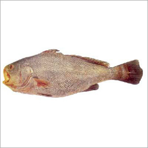 Ghol Fish - Sapphire Seafood Co , Dalda Bandar, Okha Port, Behind