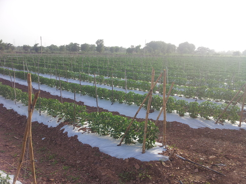 Bamboo Pandal for Tomato and Cucumber Farming in Cuttack, Odisha