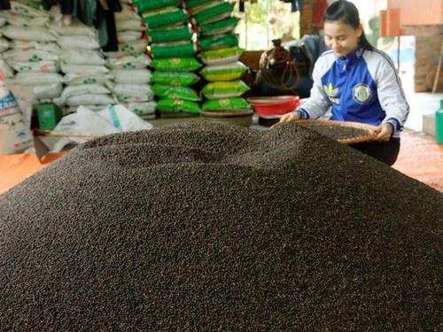 Pure Non-Organic Black Pepper SPICY