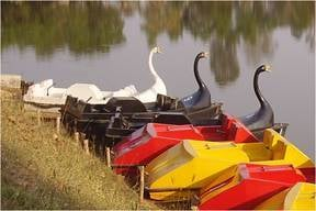 Swan Type Paddle Boats