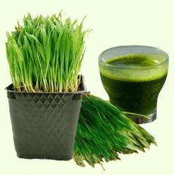 Rits Wheat Grass