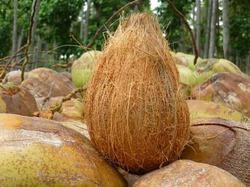 Premium Quality Coconut