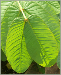 Cassia Atala Leaves