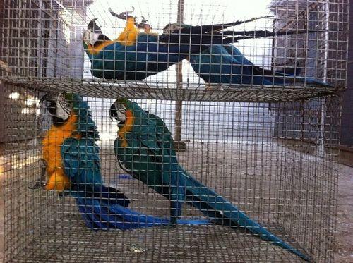 Rosella Bird