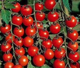 Tomato Hybrid Seeds in  Kompally