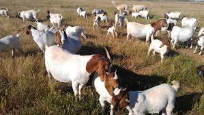 Vet Checked Live Boer Goats