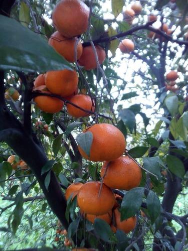 Malta Fruit in  Bowbazar