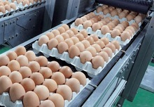 Chicken Eggs (Fresh Table)
