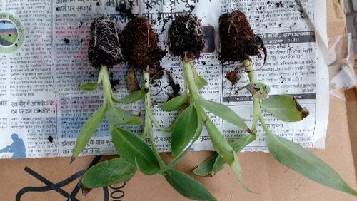 Tissue Culture G9 Banana Plants