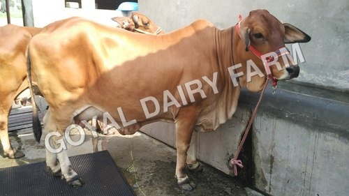 Premium Breed Sahiwal Cow
