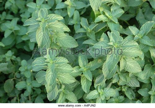 Mentha Arvensis Leaf in   Budaun Raod