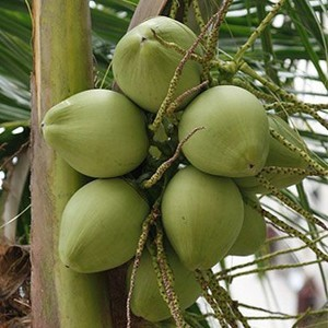 Water Filled Coconut