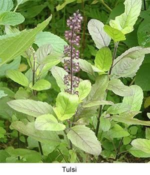 Basil Seeds / Tulsi in  Changodar
