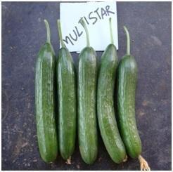 Multistar F1 Cucumber Seed