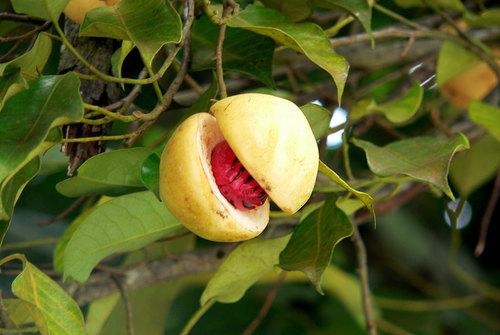 Nutmeg in   Ernakulam Dist.