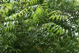 Green Neem