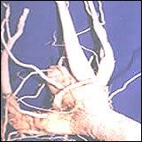 Moringa Root Powder