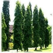 Ashok Tree in  Chawni
