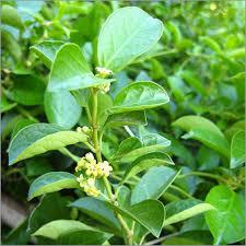 Gymnema Sylvestre Extract Gurmar