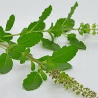 Ocimum Sanctum Leaf Extract