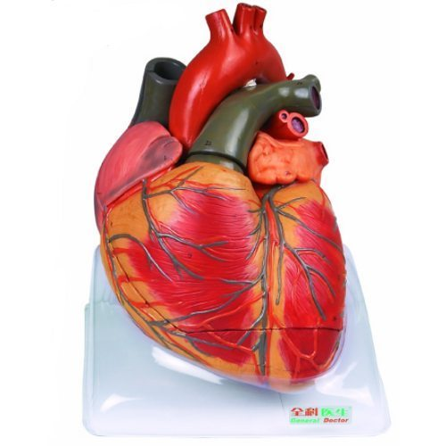 Human Heart Models in   Post Office Industrial Estate