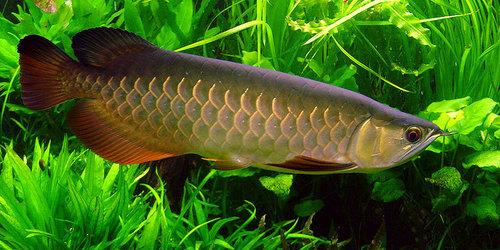 arowna fish aquarium ocean aquarium first floor 11 fortune