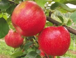Red Chief Spur Apple